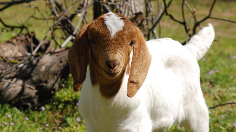 Goat Share