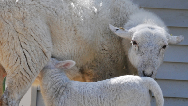 Lamb Share