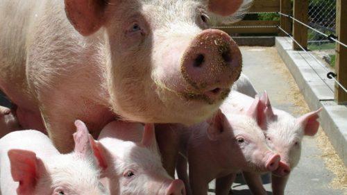 Pork Share