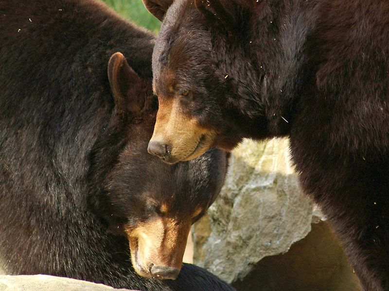 Black Bears - Baxter & Cindy